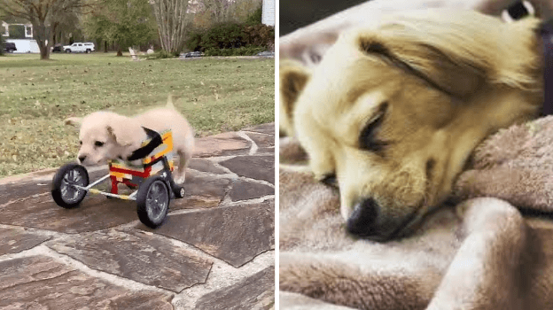 Rescue dog with no front legs given Lego wheelchair to support him get around