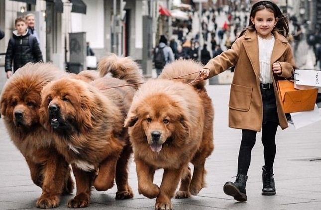 People Are Posting Funny And Cute Pictures Of Tibetan Mastiffs, And They Are Truly The Gentlest Giants (30 Pics)